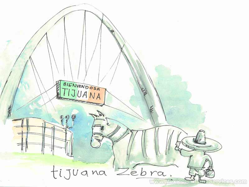 Zebra and Avenida Revolucion in Tijuana - Mexico
